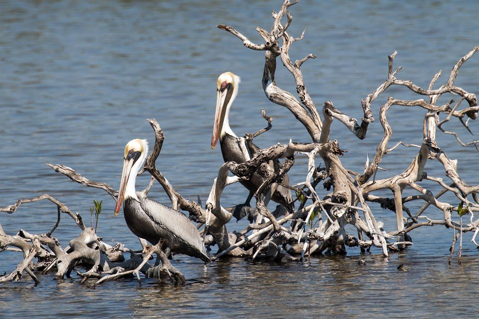 7 сказочных мест на Кубе. Кайо Коко. Пеликаны