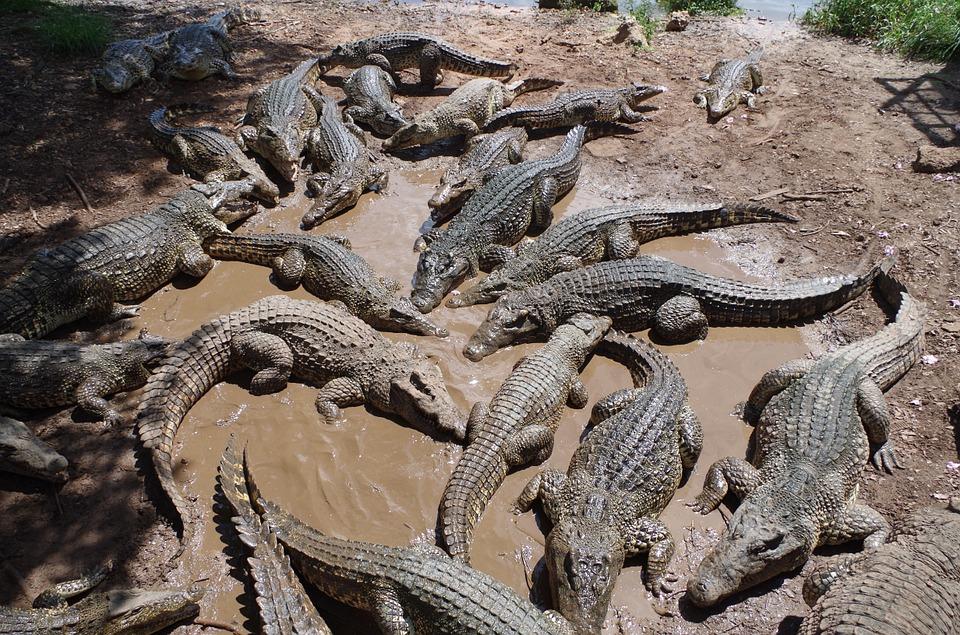 7 сказочных мест на Кубе. Крокодилы
