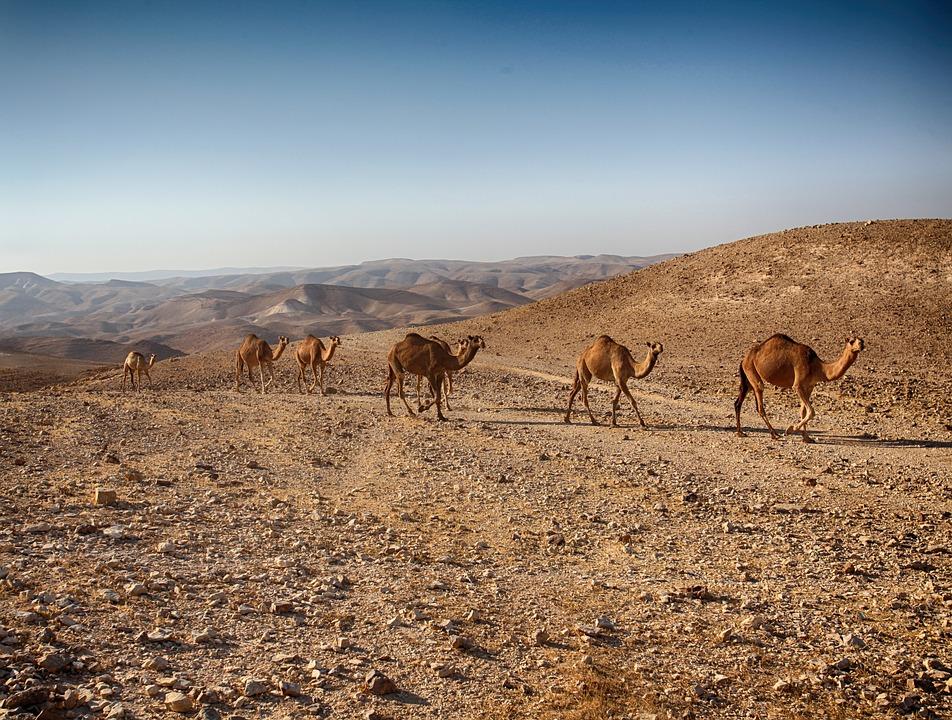 3 моря Израиля. Верблюды