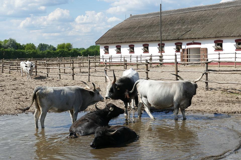 Венгрия СПА. Коровыjpg