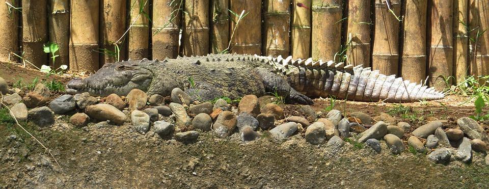 Индонезия. Крокодил.