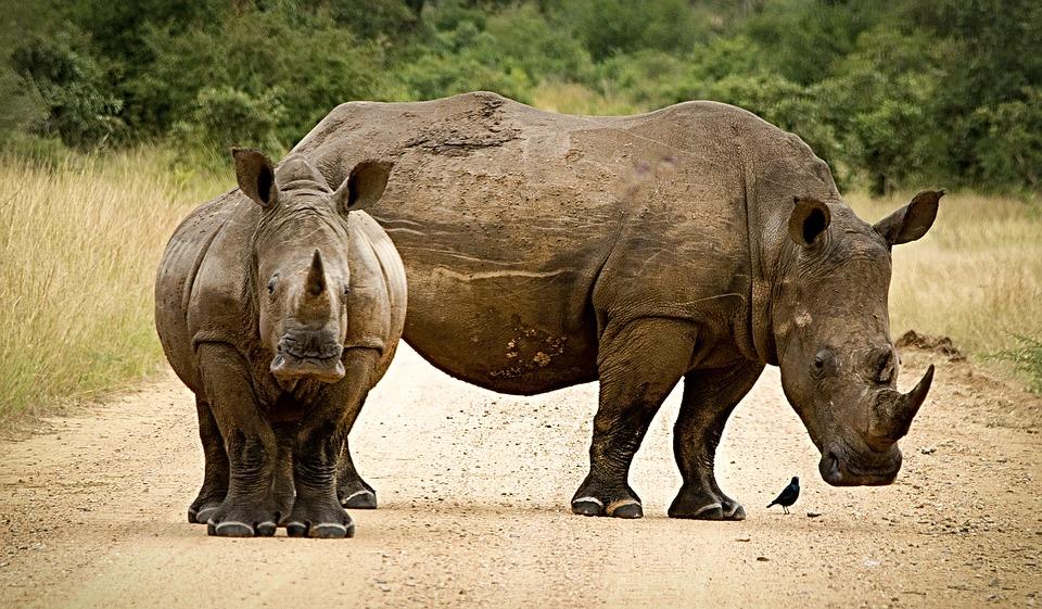 Индонезия. Носорог