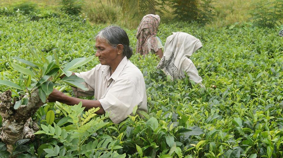 Шри-Ланка. Чайные плантации