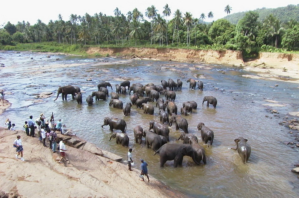 Шри-Ланка. Слоныjpg