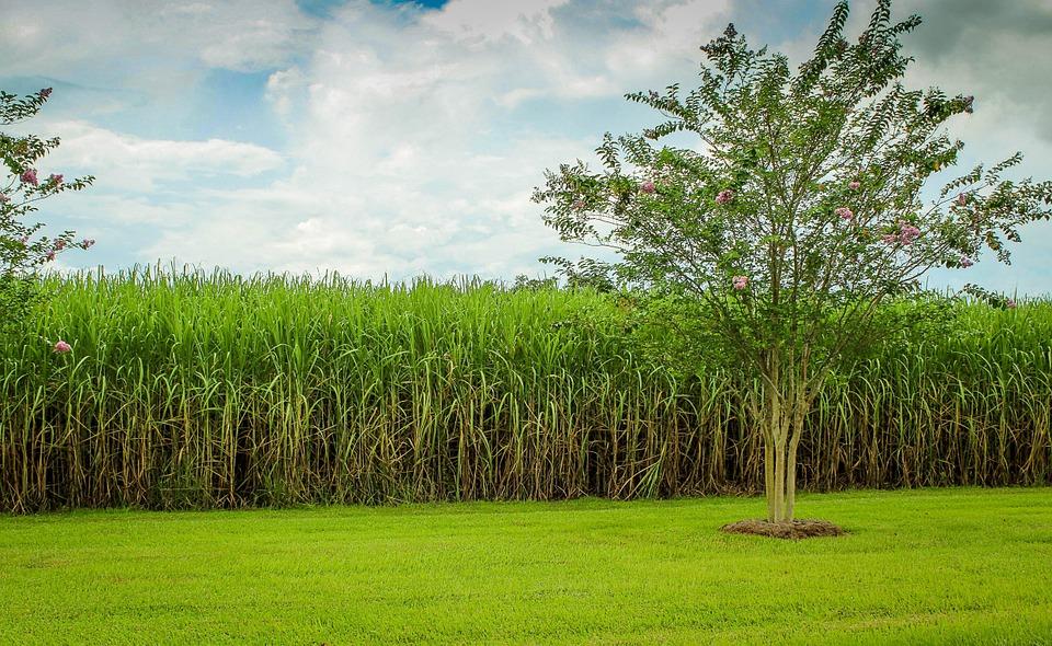 Доминикана сахарный тросник