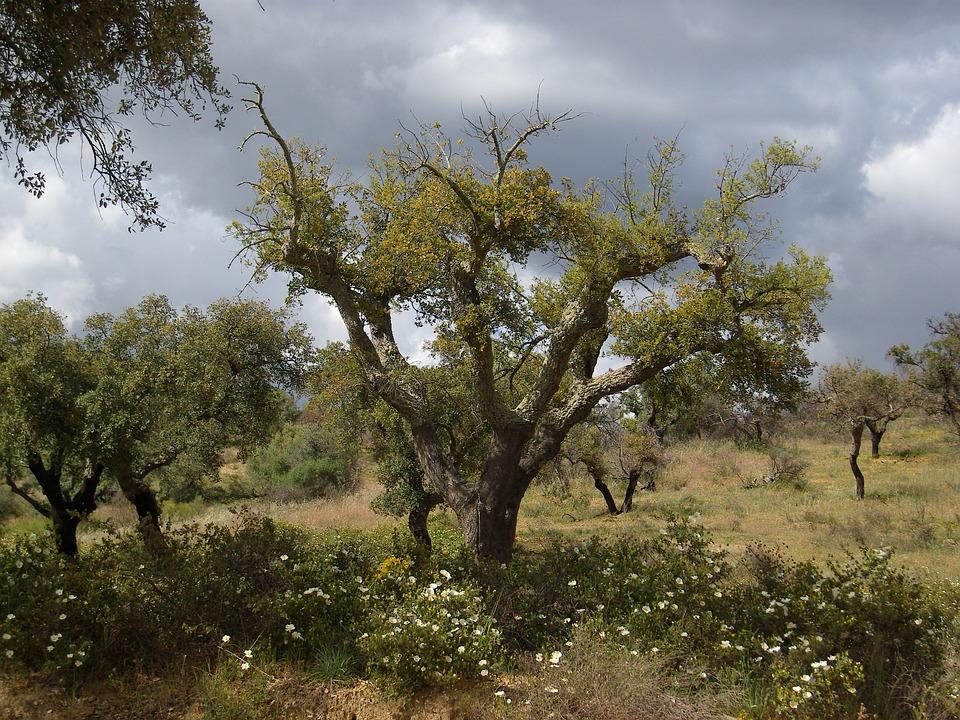 Португалия. Пробковый дуб