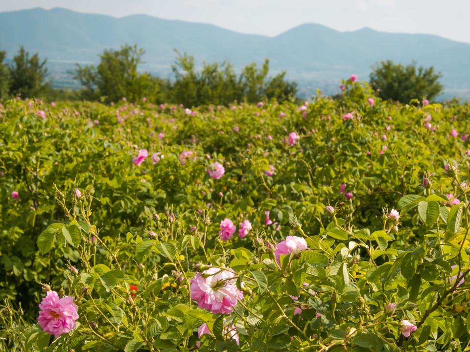Болгария. Долина роз