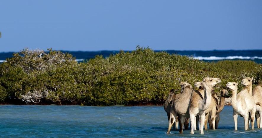 Египет. Национальный парк Вади-Эль-Гемаль. Верблюды