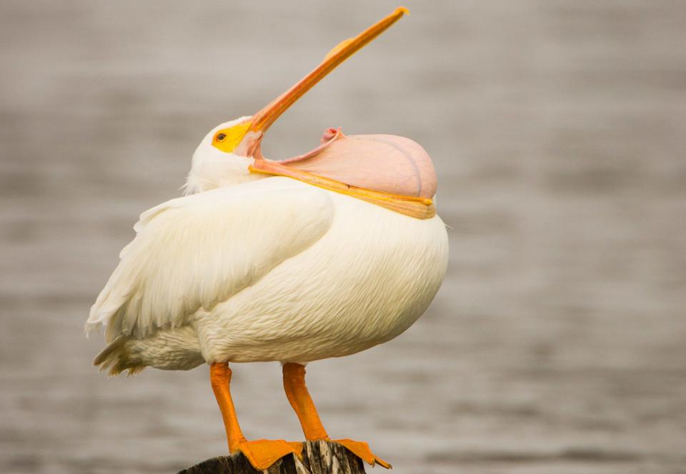 Мексика. Розовый пеликан