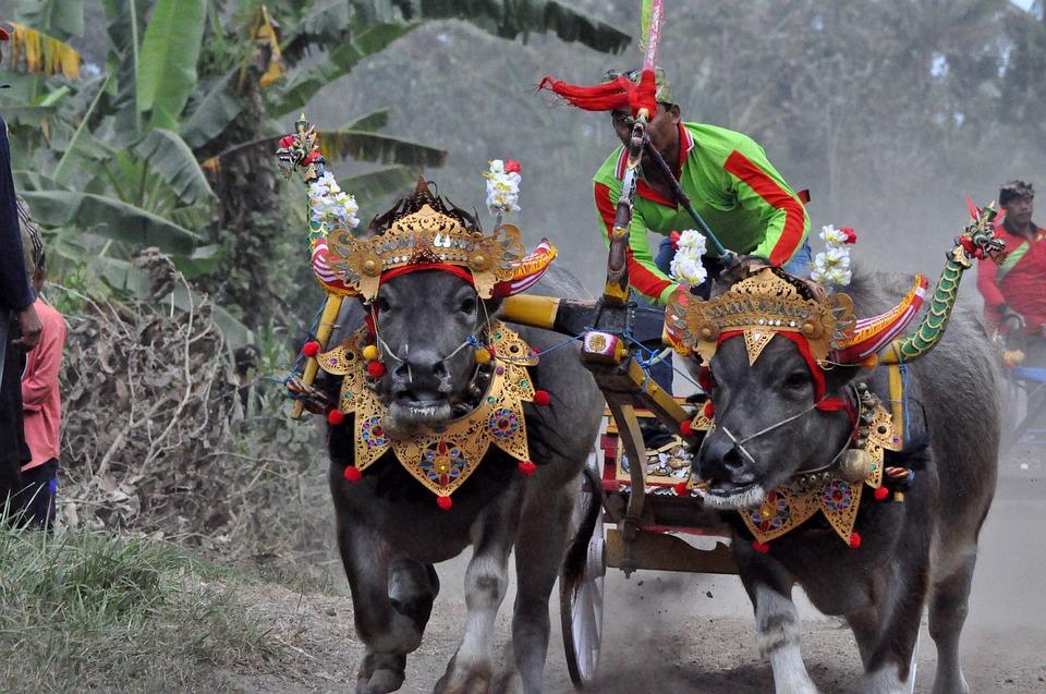 Праздники Бали. Гонки на буйволах