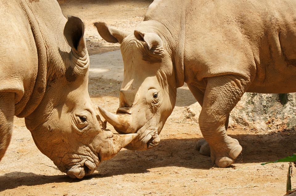 Сингапур Зоопарк Носорог